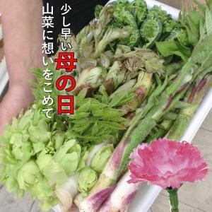 山菜 山菜天ぷら 母の日 山菜セット 送料込 限定予約 山菜の天ぷら8人用 お買得たっぷり家族で楽しめます(発送は4/25〜5/13日) kuwaharasyoten