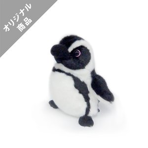 ケープペンギンSS|kyoto-aquarium