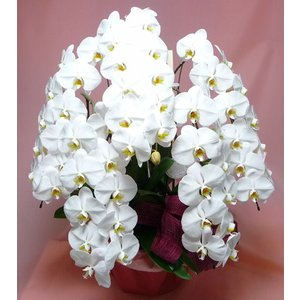 胡蝶蘭 特上特大 複数立ち白系|kyoto-flower