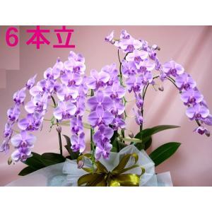 極上のミディ胡蝶蘭6本立ち|kyoto-flower