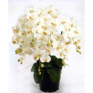 ロイヤル エレガンス ファレノプシス胡蝶蘭 クリームホワイト色 5本立ち|kyoto-flower