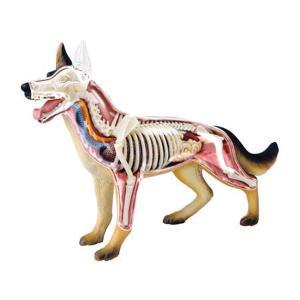 教材 模型  4D VISION 動物解剖 No.18 (犬解剖モデル)|kyouzai-j