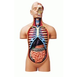 教材 模型  4D VISION 人体解剖 No.SP (スーパーデラックス胴体解剖モデル)|kyouzai-j