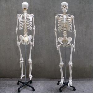 人体模型 等身大 整体 ヒューマンスカル 人体...の詳細画像2