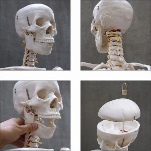 人体模型 等身大 整体 ヒューマンスカル 人体...の詳細画像3