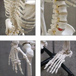 人体模型 等身大 整体 ヒューマンスカル 人体...の詳細画像5