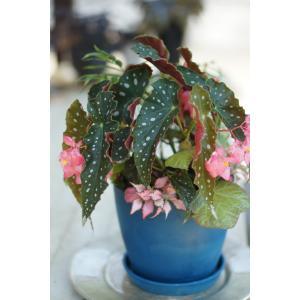 流れ星の寄せ植え        花、ガーデニング観葉植物  (44700)|la-classe-online