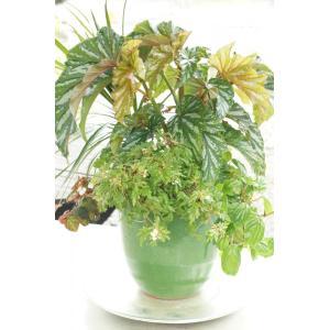 観葉ベゴニアの寄せ植え     花、ガーデニング観葉植物  (44700)|la-classe-online