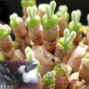 多肉植物 うさぎの耳栽培セット 種10粒付き モニラリア 必要なものが揃ってます☆LabiCatsオリジナル☆