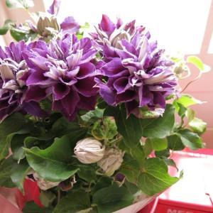 母の日 花 鉢 クレマチス 紫花八重咲き 母の日期間限定商品...