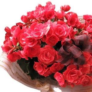 ベゴニア 母の日 アール・デコ系 母の日 プレゼント 花鉢  母の日 母の日期間限定商品