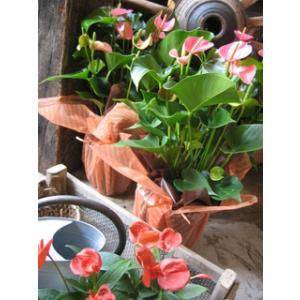 母の日 観葉植物 鉢植え ピンクのお花のアンスリューム 母の...