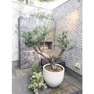 オリーブの木 観葉植物 鉢植え 地植え ギリシャ産コロネイキ 70|leben