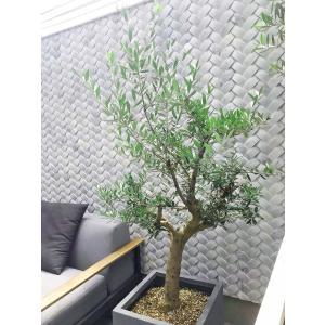 オリーブの木 観葉植物 鉢植え 地植え ギリシャ産コロネイキ 71|leben