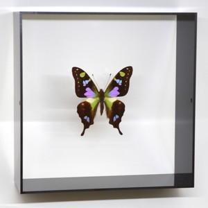 蝶の標本 ミイロタイマイ G.weiskei ブラックフレーム|lovelyinsect