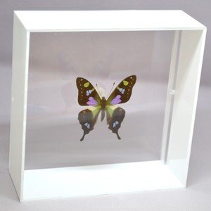 蝶の標本 ミイロタイマイ G.weiskei ホワイトフレーム|lovelyinsect