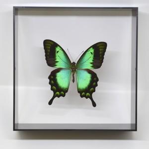 蝶の標本 ヘリボシアオネアゲハ P.lorquinianus  ブラックフレーム|lovelyinsect