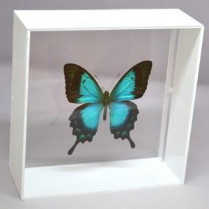 蝶の標本 ヘリボシアオネアゲハ P.lorquinianus ホワイトフレーム|lovelyinsect