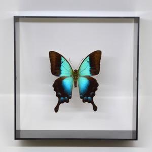 蝶の標本 ペリクレスアオネアゲハ P.pericles  ブラックフレーム|lovelyinsect
