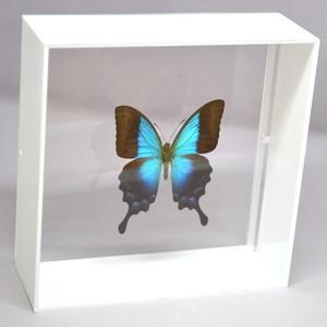 蝶の標本 ペリクレスアオネアゲハ P.pericles ホワイトフレーム|lovelyinsect