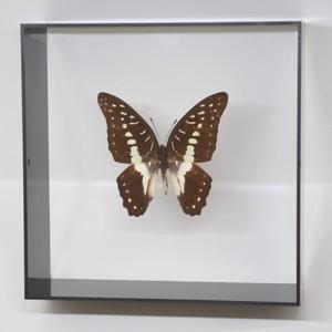蝶の標本 ミナミミカドアゲハ G.eurypylus  ブラックフレーム|lovelyinsect