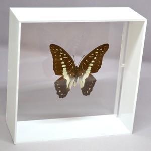 蝶の標本 ミナミミカドアゲハ G.eurypylus ホワイトフレーム|lovelyinsect