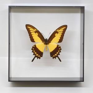 蝶の標本 リコフロンアゲハ P.lycophron  ブラックフレーム|lovelyinsect