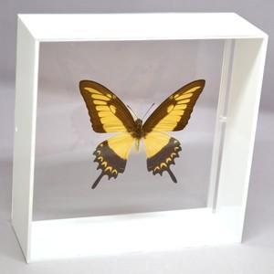 蝶の標本 リコフロンアゲハ P.lycophron ホワイトフレーム|lovelyinsect