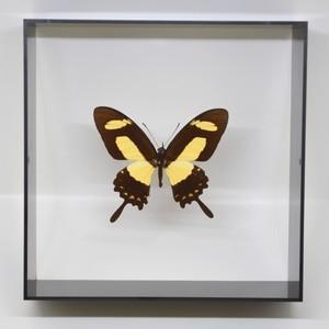 蝶の標本 トルクアトスアゲハ P.torquatus  ブラックフレーム|lovelyinsect