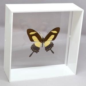 蝶の標本 トルクアトスアゲハ P.torquatus ホワイトフレーム|lovelyinsect