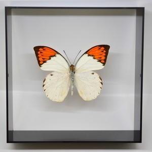 蝶の標本 ツマベニチョウ H.glaucippe  ブラックフレーム|lovelyinsect