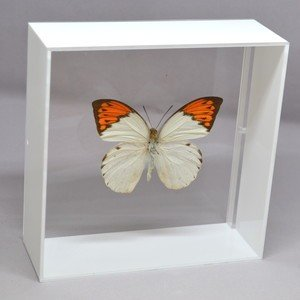 蝶の標本 ツマベニチョウ H.glaucippe ホワイトフレーム|lovelyinsect