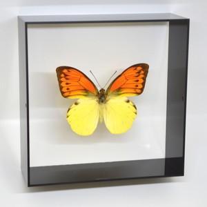 蝶の標本 ヒイロツマベニ H.leucippe  ブラックフレーム|lovelyinsect