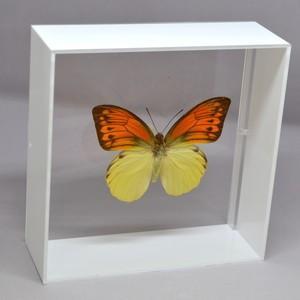 蝶の標本 ヒイロツマベニ H.leucippe ホワイトフレーム|lovelyinsect