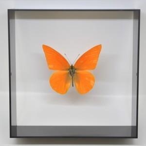 蝶の標本 オオベニシロチョウ A.zalinda  ブラックフレーム|lovelyinsect