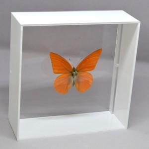 蝶の標本 オオベニシロチョウ A.zalinda ホワイトフレーム|lovelyinsect