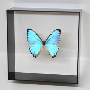 蝶の標本 ポルティスモルフォ  ブラックフレーム|lovelyinsect|01