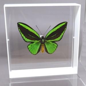 蝶の標本 メガネアゲハ T.priams ホワイトフレーム|lovelyinsect