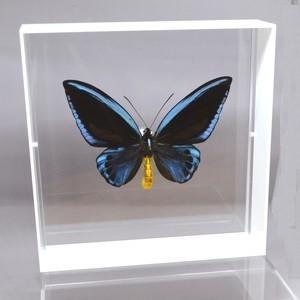 蝶の標本 アオメガネアゲハ O.urvilliana ホワイトフレーム|lovelyinsect