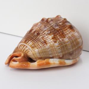 巻貝 貝殻 置物 巻き貝 ほら貝 貝 一点物