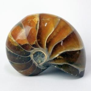 オウムガイ 化石 原石 一点物 アンモナイト 化石 鉱物