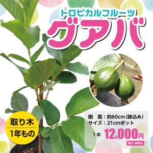 グアバ 苗木 取り木1年もの 21cmポット|lycheeshop
