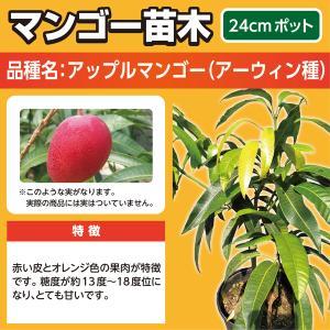 マンゴー苗木(アップルマンゴー・アーウィン種)24cmポット|lycheeshop