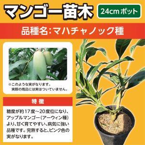 マンゴー苗木(マハチャノック種)24cmポット|lycheeshop
