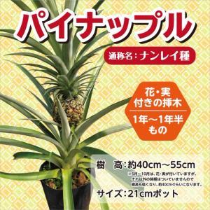 パイナップル苗木 21cmポット|lycheeshop