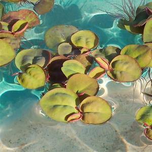 水草 フィランサス フルイタンス 10株セット フィランツス フィラントス 水草 浮き草 鉢 メダカ アクアリウム