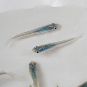 【特徴】 普通種体型。 透明な体に、体内のブルーが鮮やかなメダカです。  ※こちらの商品は未選別の稚...