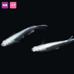 【特徴】 普通種体型。 口の先から背中全体にかけて光り輝く鱗に包まれた極上のめだかです。 雌雄1ペア...