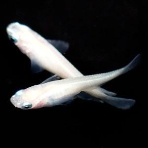 【特徴】 普通種体型。 全身が真っ白な綺麗なめだかです。  ※こちらの商品は未選別の稚魚になります。...