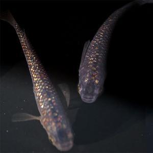 【特徴】 普通種体型。 黒系の体色に成長とともに虹色に輝くラメ状の光が広がっていきます。 (ラメの量...